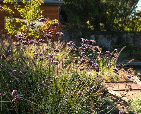 Gartenpflanzung Verbena