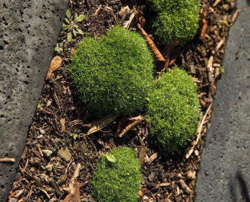 Gräser, japanische Ahorne und flächig wachsendes Sternmoos im Vorgarten